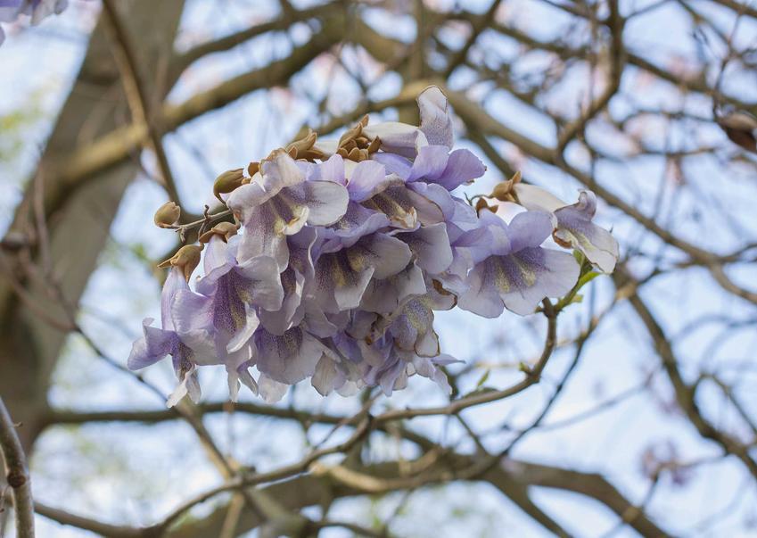 Paulownia czy też tak zwana pawłownia w okresie kwitnienia jako drzewko ozdobne oraz uprawa paulowni w Polsce i jej zasady