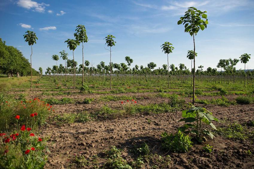 Uprawa paulowni w Polsce oraz sadzenie paulowni i jej zastosowanie jako drzewko ozdobne, a także informacje o tym, jak pielęgnować paulownie