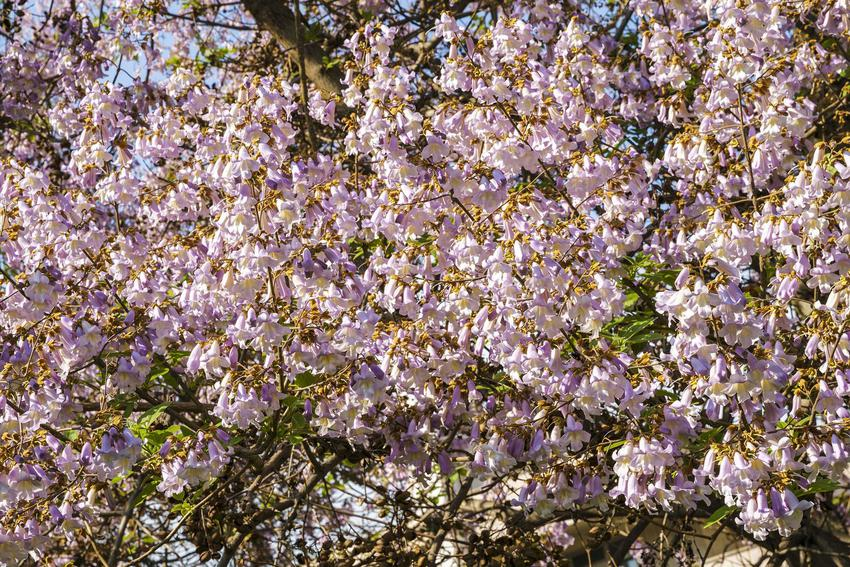 Paulownia czy też tak zwana pawłownia w okresie kwitnienia oraz uprawa paulowni w Polsce, a także zasady pielęgnacji