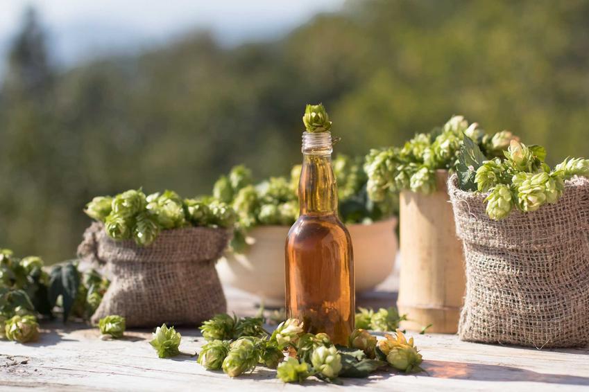 Piwo i szyszki chmielu oraz odpowiedź na pytanie, z czego robi się piwo i jakie dokładnie są składniki na piwo