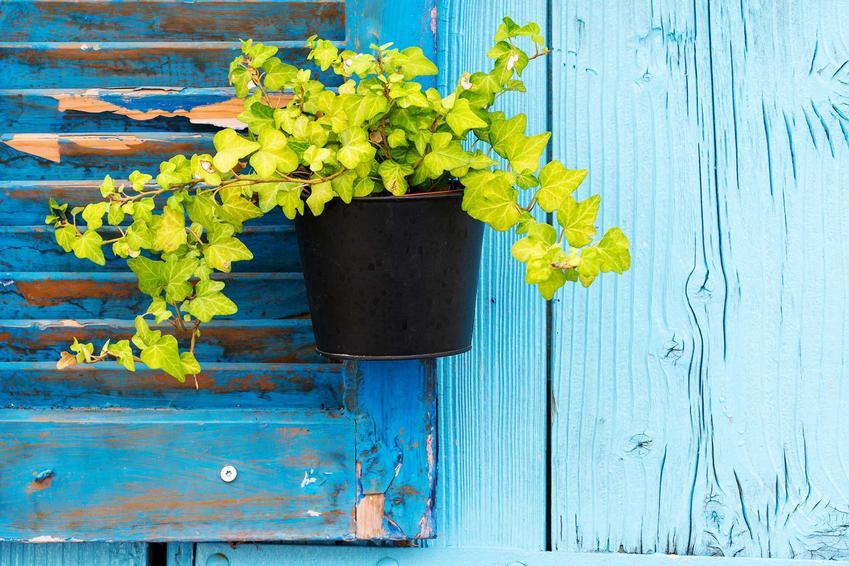 Bluszcz doniczkowy na tle pomalowanego na niebiesko drewna oraz pielęgnacja bluszczu doniczkowego i porady krok po kroku