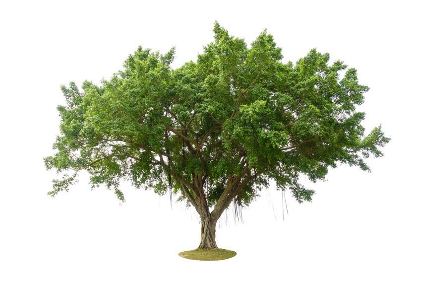 Fikus bengalski, czyli z łaciny ficus benghalensis jako ogromne drzewo z Indii, a także pielęgnacja i uprawa