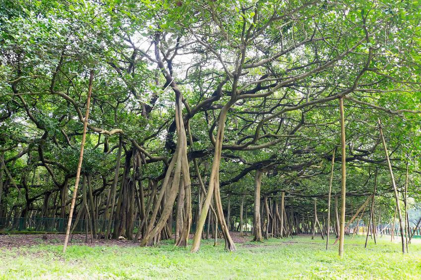 Fikus bengalski, czyli z łaciny ficus benghalensis jako ogromne drzewo z Indii oraz uprawa i pielęgnacja