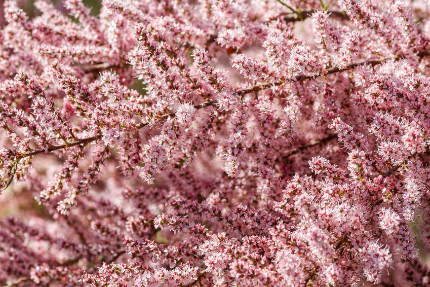 Tamaryszek pięciopręcikowy Tamarix ramosissima jako krzew ozdobny w czasie kwitnienia oraz jego uprawa i pielęgnacja