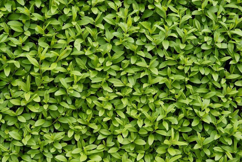 Ligustr zimozielony w ogrodzie jako interesująca roślina na żywopłot łatwy w formowaniu oraz uprawa, sadzenie i pielęgnacja krok po kroku