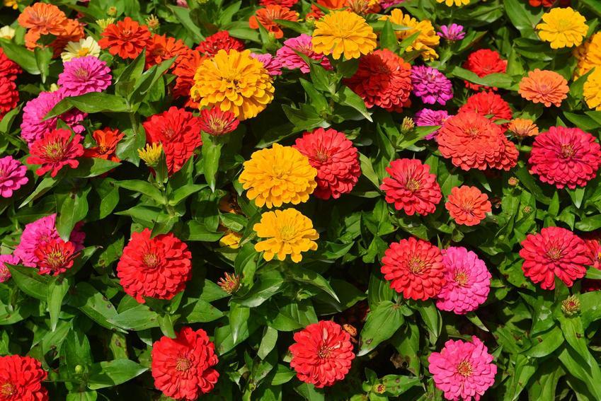 Cynia daliowa, czyli cynia ogrodowa i jej kolorowe kwiaty, a także uprawa i zasady pielęgnacji krok po kroku