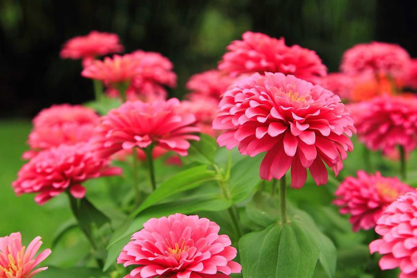 Cynia daliowa, czyli cynia ogrodowa i jej kolorowe kwiaty, a także zasady uprawy i pielęgncji krok po kroku