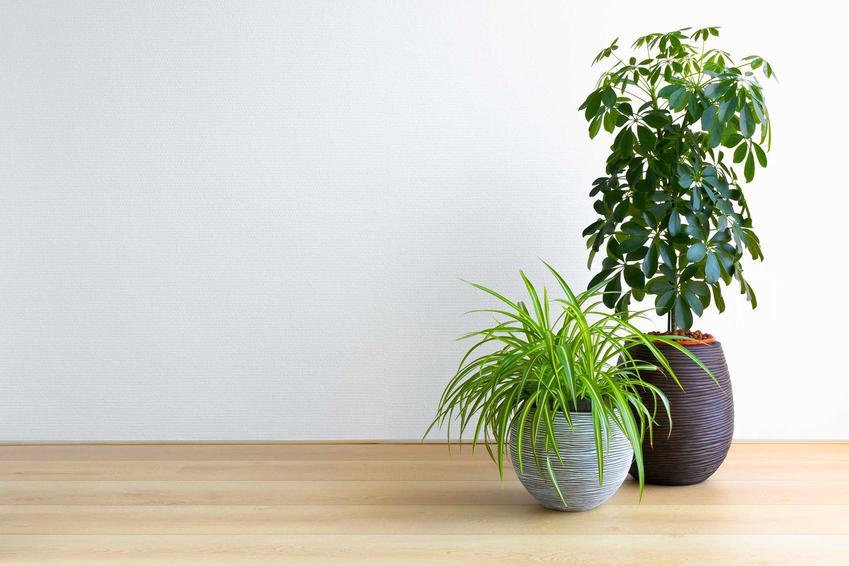 Kwiat szeflera czy też szeflera drzewkowata jako interesująca, zielona roślina doniczkowa w pokoju na podłodze oraz jej uprawa