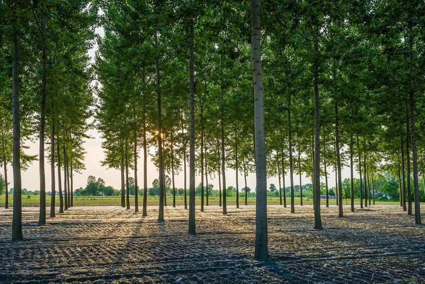 Topola energetyczna oraz jej uprawa na cele energetyczne, a także samodzielna plantacja topoli energetycznej