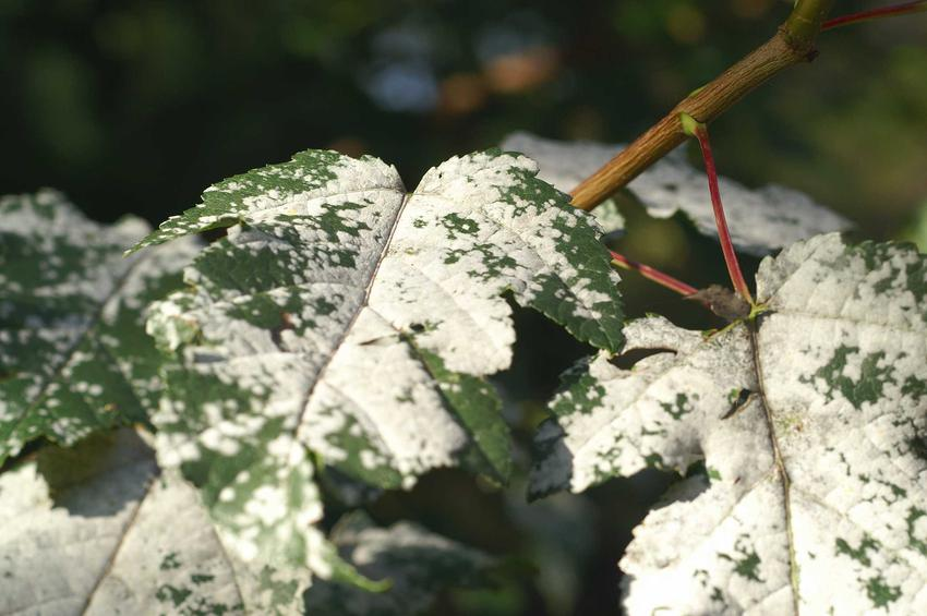 Mączniak prawdziwy na liściach rośliny, a także powszechny mączniak rzekomy i zwalczanie mączniaka obu rodzajów
