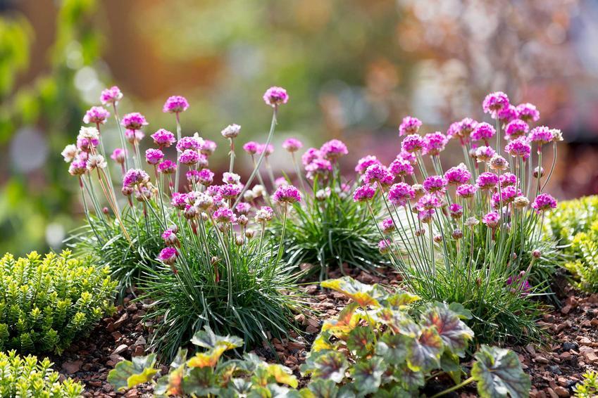 Kwiaty na skalniak ogrodowy, które pięknie się na nim prezentują, tym kwiaty wieloletnie i rośliny skalniakowe