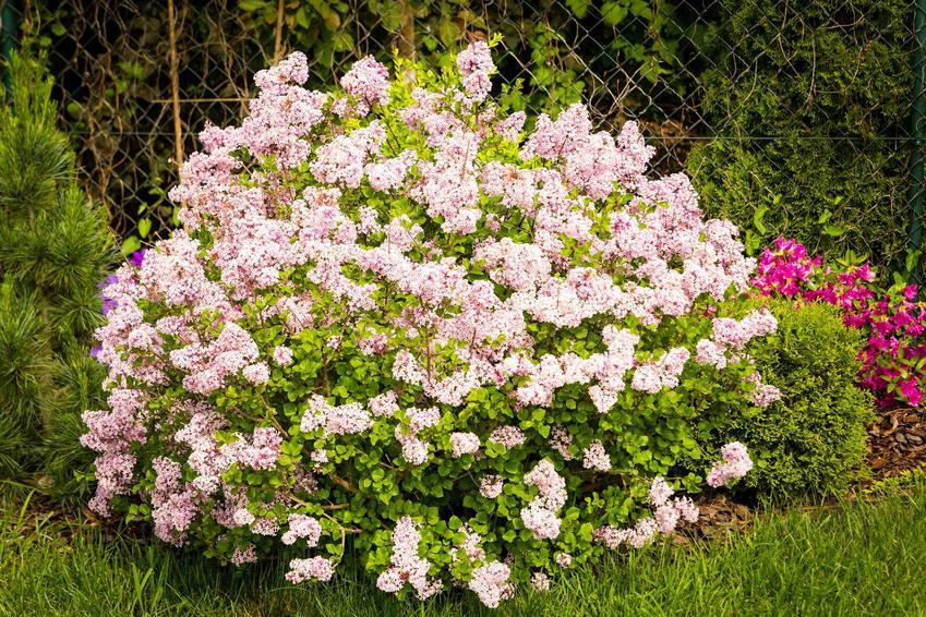 Lilak pospolity w czasie kwitnienia, z łaciny Syringa vulgaris jako interesujący krzew ozdobny do ogrodu, sadzenie i pielęgnacja