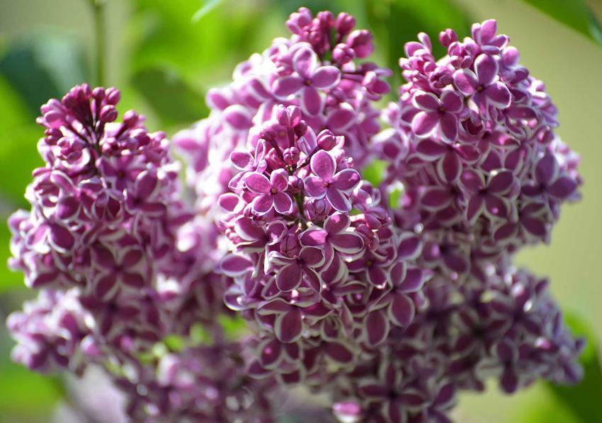 Lilak pospolity w czasie kwitnienia, z łaciny syringa vulgaris jako interesujący krzew ozdobny do ogrodu, a także wymagania i sadzenie