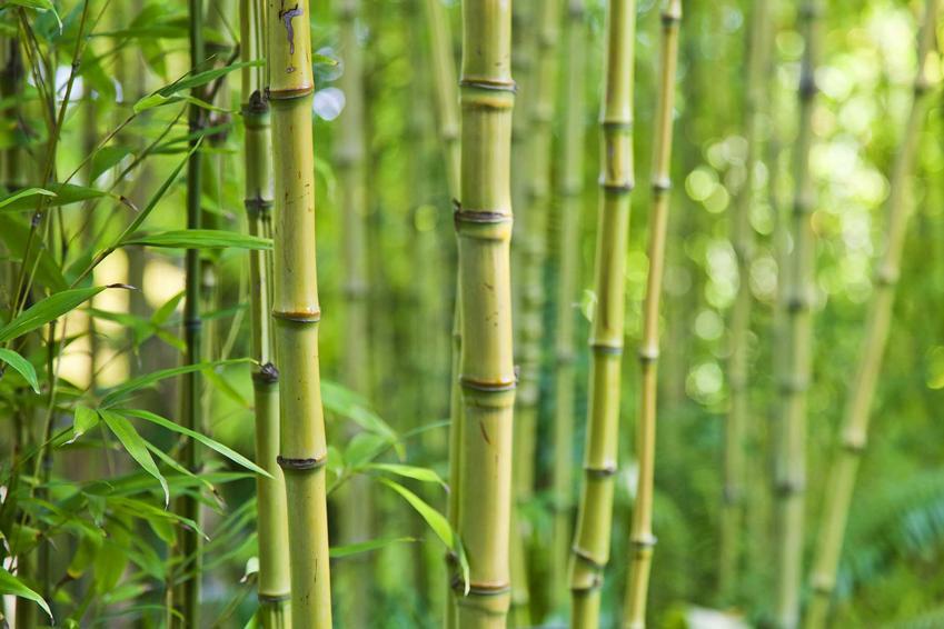 Bambus ogrodowy, czyli bambus w ogrodzie jako orientalna roślina, a także uprawa i pielęgnacja bambusa