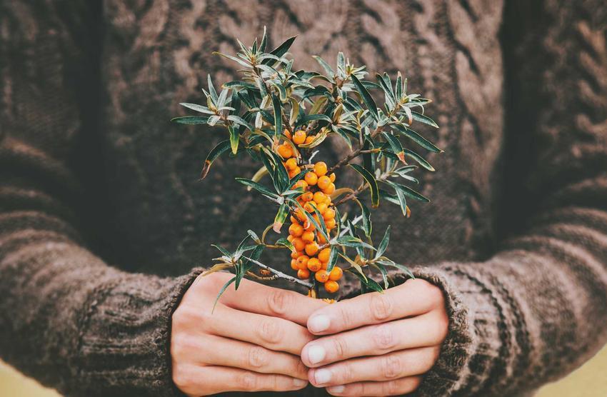 Sadzonki rokitnika w dłoniach oraz rokitnik zwyczajny - odmiany, sadzenie, stanowisko, pielęgnacja oraz właściwości i zastosowanie