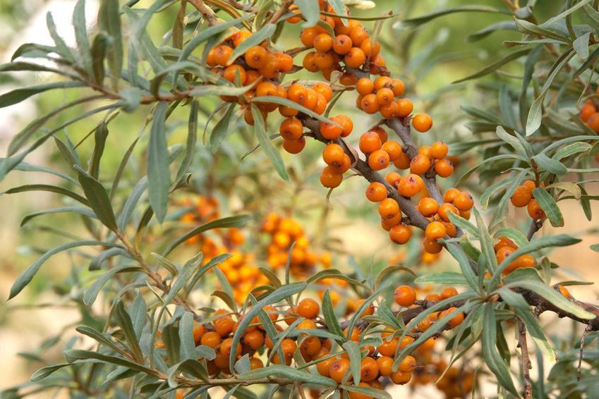 Rokitnik zwyczajny w okresie owocowania krzewu - porady, gdzie kupić sadzonki rokitnika oraz warunki uprawy, sadzenie i pielegnacja oraz właściwości