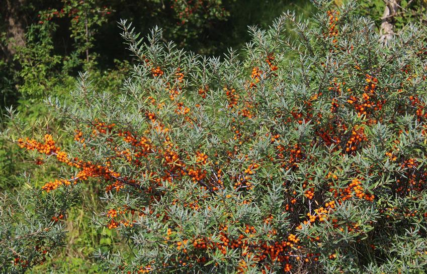 Rokitnik pospolity w Polsce w czasie owocowania krzewu oraz uprawa rokitnika pospolitego w ogrodzie i kwitnienie