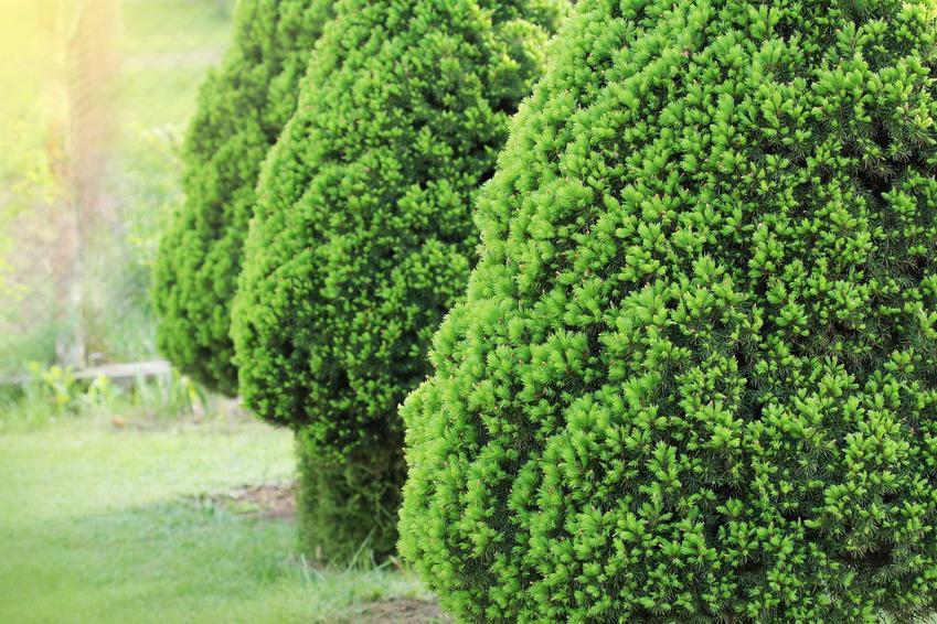 Świerk biały czy też świerk conica w ogrodzie oraz porady dotyczące uprawy, pielęgnacja, stanowisko i wymagania