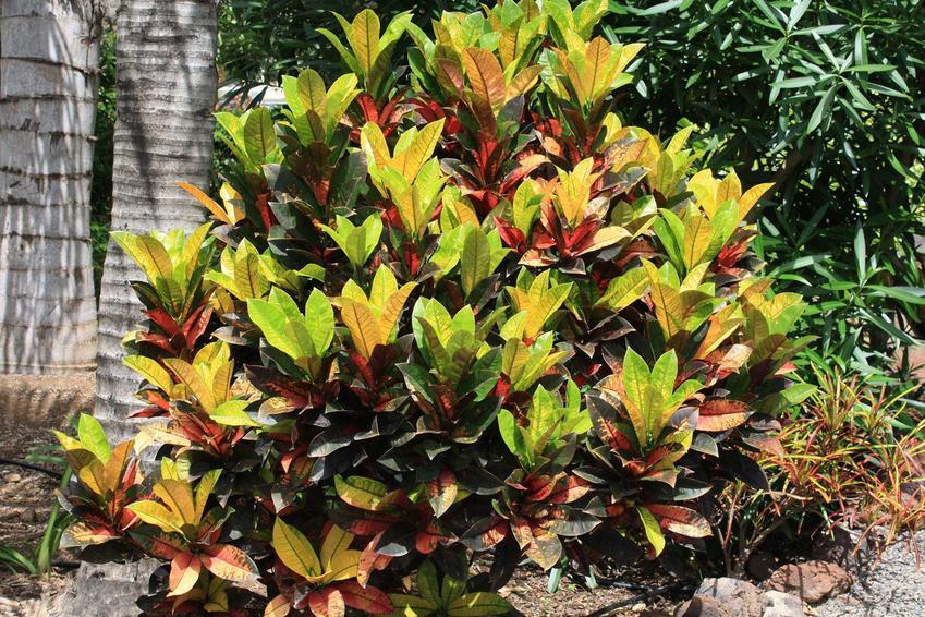 Kroton, czyli inaczej trójskrzyn oraz jego odmiany, warunki uprawa, sadzenie, rozmnażanie i pielęgnacja, a także kwitnienie