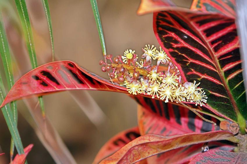 Kwiat krotona, inaczej trójskrzyn, złac. Codiaeum variegatum - odmiany, warunki uprawy, wymagania i pielęgnacja - porady