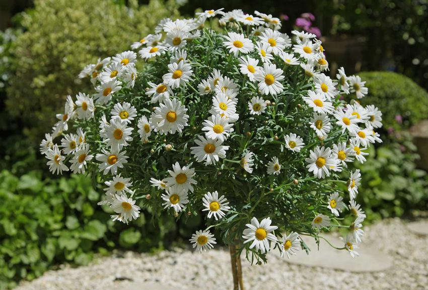 Złocień krzewiasty czy też srebrzeń krzewiasty w czasie kwitnienia na pniu oraz jego uprawa i pielęgnacja