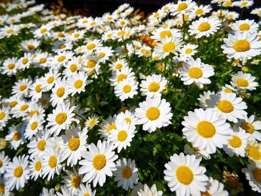Złocień krzewiasty czy też srebrzeń krzewiasty w czasie kwitnienia oraz jego uprawa i pielęgnacja w ogrodzie krok po kroku