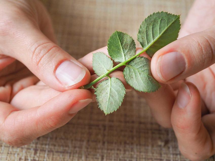 Przędziorek chmielowiec na spodzie liści oraz zdjęcia i sposoby na zwalczanie przędziorka chmielowca chemicznymi i domowymi sposobami