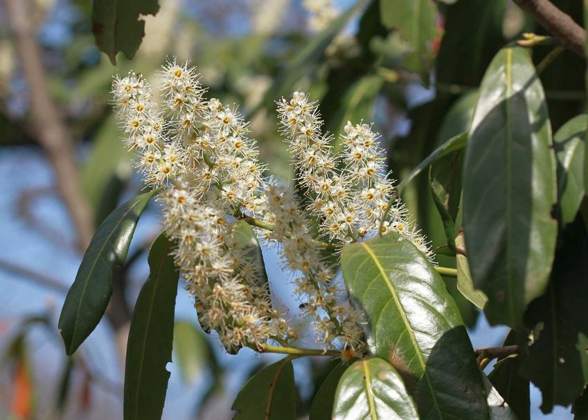 Laurowiśnia wschodnia w czasie kwitnienia w ogrodzie oraz jej uprawa, a także odmiany laurowiśni najlepsze do uprawy