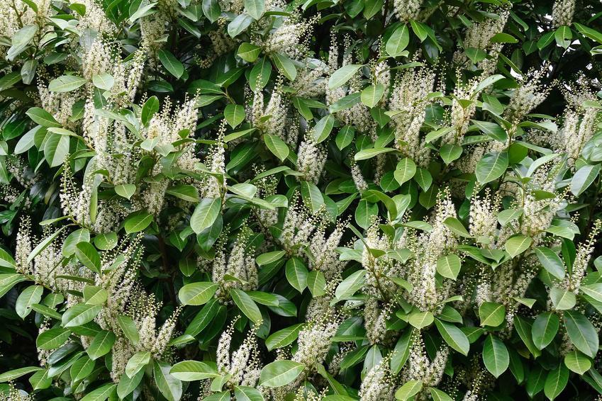 Laurowiśnia wschodnia w czasie kwitnienia w ogrodzie oraz jej uprawa, a także odmiany laurowiśni do ogrodu