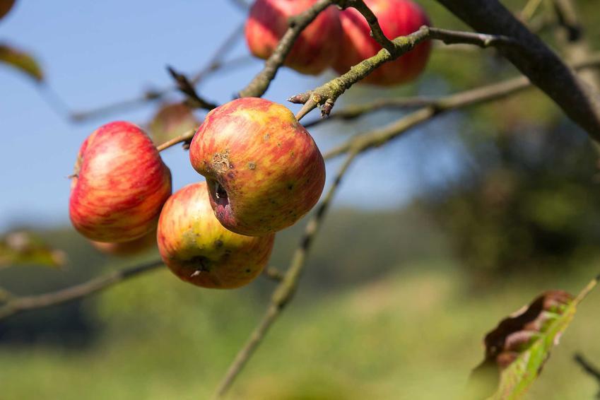 Parch jabłoni na owocach na drzewie oraz sposoby na zwalczanie parchu jabłoni, a także porady, kiedy pryskać drzewka owocowe