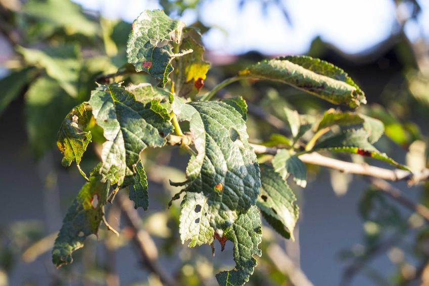 Choroby gruszy, a dokładniej parch gruszy na liściach oraz zwalczanie parcha i porady, kiedy pryskać drzewa owocowe