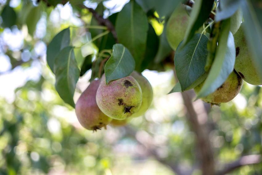 Choroby gruszy, czyli parch gruszy na owocach na drzewie oraz zwalczanie parcha i porady, kiedy pryskać drzewa owocowe