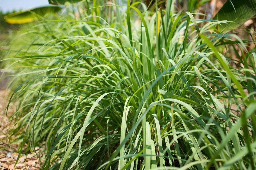 Trawa cytrynowa czy też paltaczka cytrynowa w ogrodzie oraz jej uprawa i zastosowanie w kuchni, właściwości i przepisy