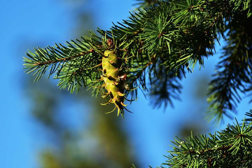 Dlaglezja zielona z szyszką w ogrodzie oraz jej sadzenie, a także uprawa, pielęgnacja i ceny sadzonek w Polsce