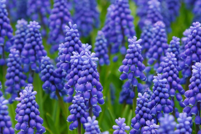 Szafirek i jego kwiaty w czasie kwitnienia, a także szafirki i zasady ich uprawy i pielęgnacji w ogrodzie krok po kroku