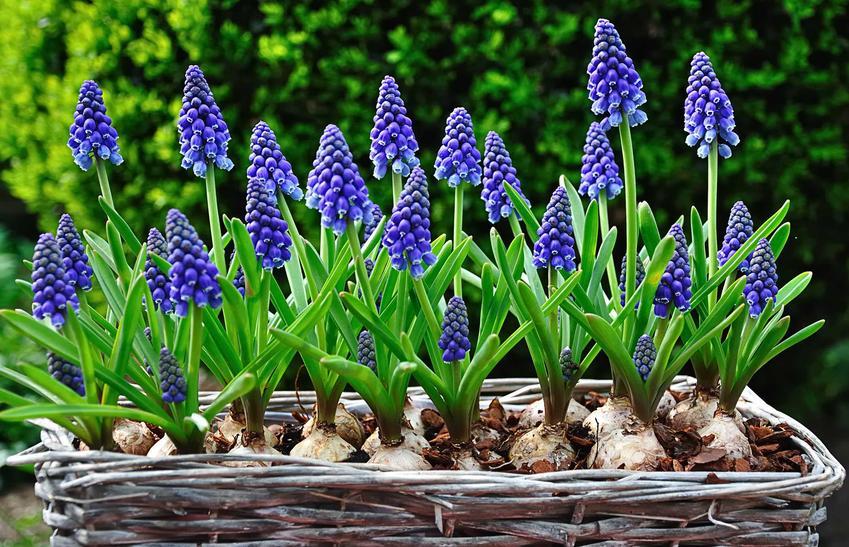 Szafirek i jego kwiaty w czasie kwitnienia w doniczce, a także szafirki i zasady ich uprawy oraz pielęgnacja w doniczce