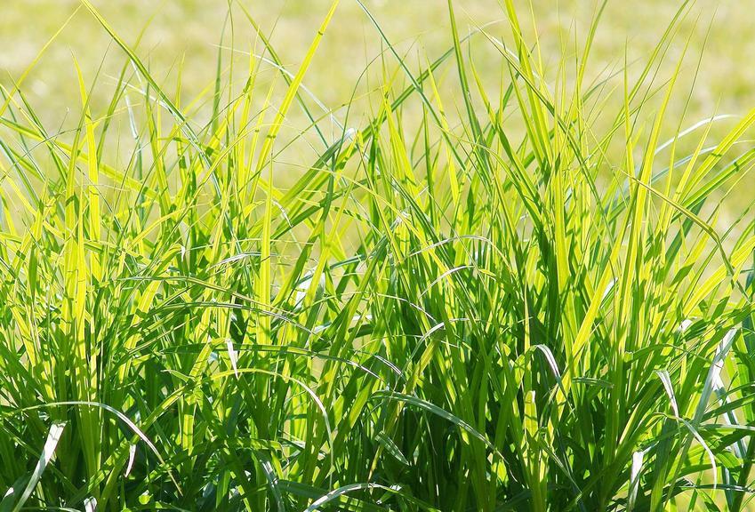 Turzyca palmowa Carex muskingumensis czy też trawa palmowa jako trawa ozdobna w ogrodzie, stanowisko i warunki uprawy turzycy palmowej