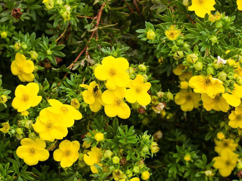 Pięciornik krzewiasty czy też pięciornik żółty w czasie kwitnienia w ogrodzie oraz jego odmiany i zastosowanie
