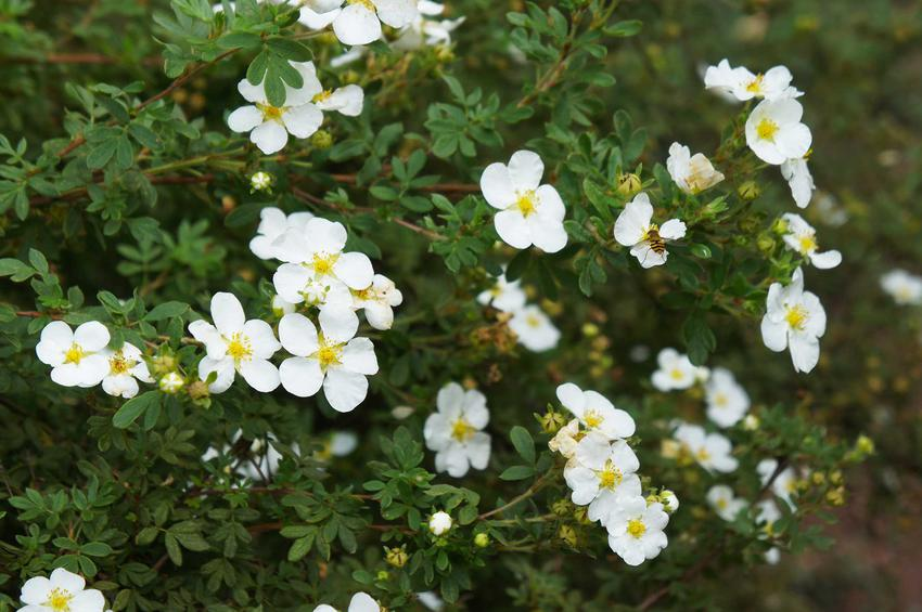 Pięciornik biały, z łaciny Potentilla alba w czasie kwitnienia oraz jego zastosowanie na krople ziołowe i nie tylko