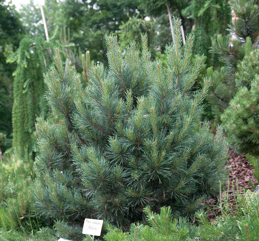 Sosna zwyczajna czy też sosna pospolita w ogrodzie oraz porady, jakie sadzonki sosny pospolitej wybrać i jak wygląda formowanie