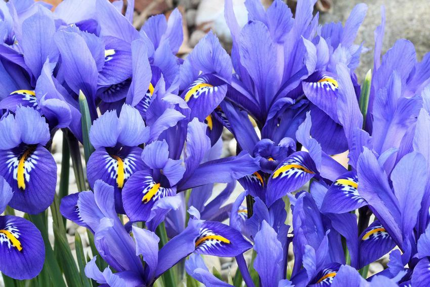 Irys holenderski, którego kwiaty nazywane są także jako kosaćce holenderskie oraz ich uprawa, sadzenie, stanowisko i pielęgnacja