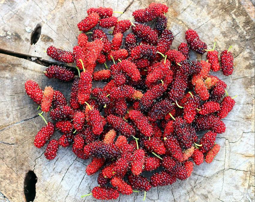 Morwa czerwona i jej owoce, a także uprawa, owocowanie i zastosowanie owoców morus rubra, właściwości i składniki odżywcze