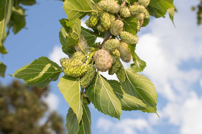 Morwa biała na drzewie, a także herbata z morwy czy też herbatka z morwy białej oraz jej działanie, zastosowanie i właściwości