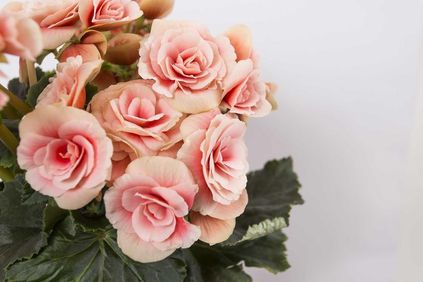 Begonia zimowa czy też begonia elatior jako popularna begonia doniczkowa oraz jej uprawa, pielęgnacja i podlewanie