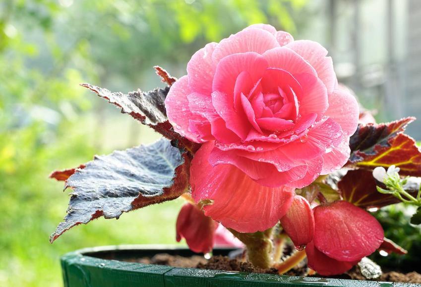 Begonia doniczkowa czy też begonia domowa w czasie kwitnienia jako dekoracyjny kwiat domowy oraz jego uprawa i pielęgnacja