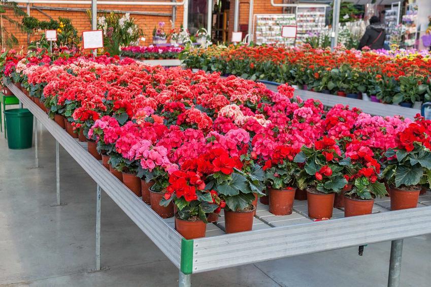 Begonia doniczkowa czy też begonia domowa w sklepie ogrodniczym jako dekoracyjny kwiat domowy oraz jego uprawa