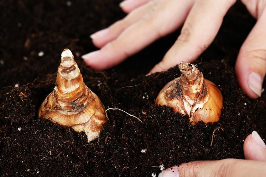 Celubli irysów i ich sadzenie w ziemi, a także irysy cebulowe i uprawa roślin cebulowych krok po kroku
