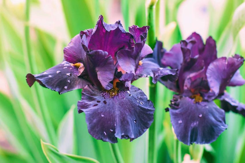 Irysy cebulowe w czasie kwitnienia w ogrodzie oraz cebulki irysów i ich sadzenie, a także pielęgnacja, uprawa i podlewanie