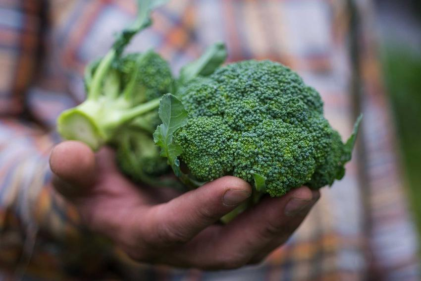 Młody brokuł po zbiorach trzymany w dłoni przez mężczyznę oraz uprawa brokułów w ogrodzie, sadzenie, pielęgnacja i uprawa