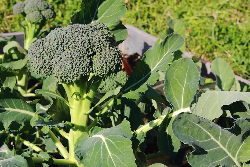 Uprawa brokułów w ogrodzie, czyli ich sadzenie, rozsada oraz pielęgnacja i zbiory warzywa krok po kroku